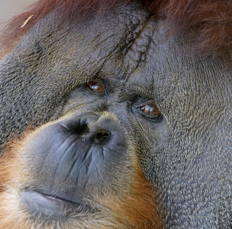ape.png