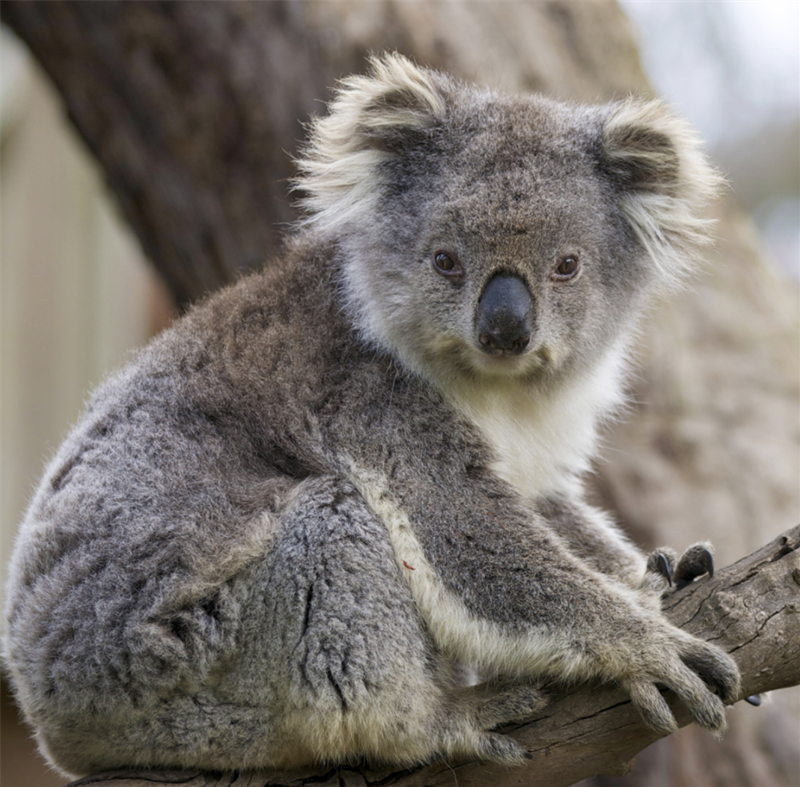 koala.png
